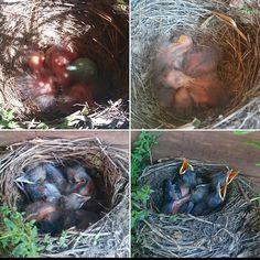 Mustarastaan poikasten kehittyminen parin viikon aikana.