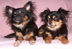 Front view - Two black with brown Pomchi dogs are laying side by side on a pink blanket and they are looking to the left. They have longer fringe hair on their ears. One dog has perk ears and the other has ears that hang over.