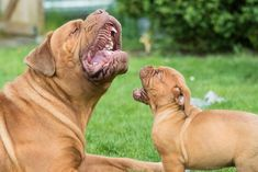 Lion King! .. #DoguedeBordeaux #Maximus #Cassius #dogs #animal #LionKing