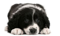 Border Collie puppy, 6 weeks old, lying in front of white background Royalty Fre , Puppy Pictures, Cute Pictures, Border Collie Pictures, Image Border, Border Collie Puppies, White Background Photo, Puppy Breeds, Dogs And Puppies, Corgi