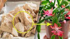 Nejúčinnější živina pro pokojové rostliny! Domácí hnojivo, které si může vytvořit každý! | Vychytávkov