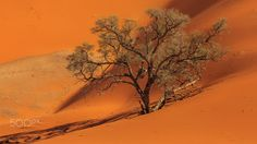 Dead Tree in the Desert - An old tree has succumbed to the draught in the Namib desert.