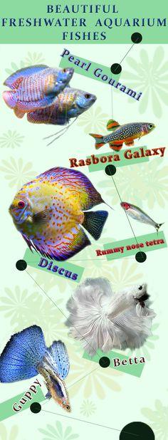 Beautiful freshwater aquarium fish - Plantedbowl
