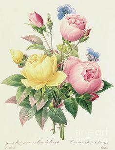 Image result for pierre joseph redoute Vintage Botanical Prints, Antique Prints, Botanical Art, Vintage Art, Botanical Tattoo, Illustration Botanique Vintage, Vintage Illustration, Art Floral, Floral Wall
