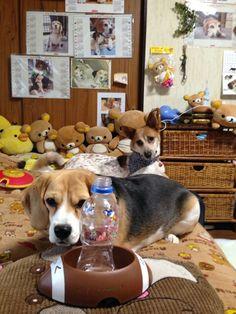 Beagle My Baby Fuku&Komugi