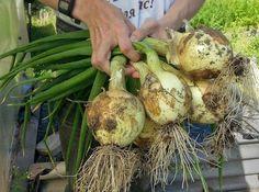 În fiecare an obțin o recoltă mare de ceapă: 4 sfaturi simple - Fasingur