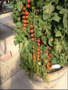 RAPUNZEL F1 HYBRID TOMATO 25 SEEDS LONG TRUSSES W/UP TO 40 SWEET CHERRY TOMATOES #TOMATO