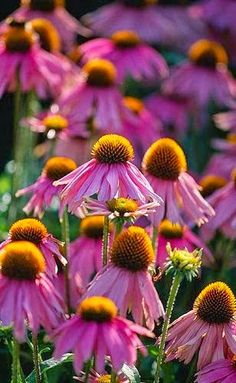 Echinacea 'Kim's Knee High' - cone flower