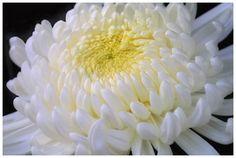 Хризантема — золотой цветок. Сорта хризантем с фото
