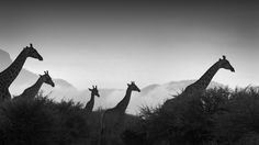 """Wildlife Photo of the Day - January 11, 2015: """"Walking with Giants"""" by Susan Furber 