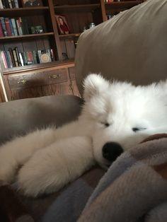 Sleepy Samoyed