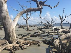 Driftwood Beach, Jekyll Island Picture: Great place, easy to bring a dog, empty in the morning - Check out Tripadvisor members' candid photos and videos of Driftwood Beach Driftwood Beach Jekyll Island, Places To Travel, Places To Visit, Island Pictures, Morning Pictures, Coastal Art, Adventure Is Out There, Landscape Photos, Vacation Spots