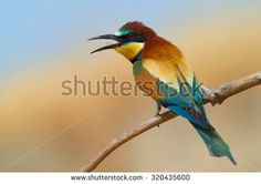 Bird Eater Stock Photos, Images, & Pictures | Shutterstock
