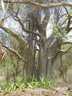 Graines voyantes arbres exotiques graines fra/îches So Rare 3 Dracaena draco Graines darbres 20 Pcs canarien arbre Sang