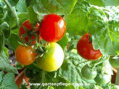 Klettergerüst Tomate : Besten tomaten ziehen anbauen bilder auf in