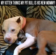 My Kitten Thinks My Pit Bull Is His New Mommy cute animals dogs cat cats adorable dog puppy animal pets kitten funny animals funny pets pitbulls pitbull funny dogs pit bull animal odd couples