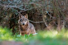 Condenação exemplar: caçadores são condenados por matarem um lobo na Espanha - GreenMe.com.br Phuket, Canis Lupus, Wolf, Panther, Kangaroo, Beautiful Women, Female, Nice, Animals