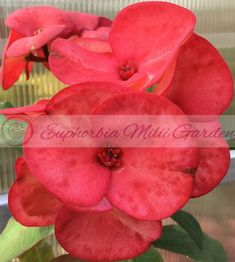 Euphorbia Milii - Crown of Thorns - Corona de Cristo - Ruay Amata Garden Sprinklers, Euphorbia Milii, Mother Plant, Crown Of Thorns, Large Planters, Plant Pictures, Yellow Leaves, All Flowers, House Plants