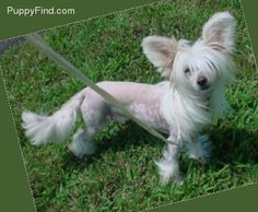 Chinese Crested ... my favorite dog!!!