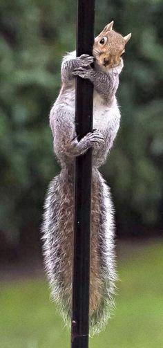 Let's hear it for Lolita, the world's best pole dancing squirrel Secret Squirrel, Cute Squirrel, Squirrels, Squirrel Pictures, Cute Animal Pictures, Animals And Pets, Funny Animals, Cute Animals, Hamsters