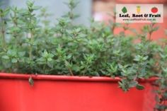 What to Plant in September for the Melbourne Region - Leaf, Root & Fruit Gardening Services www.LeafRootFruit.com.au