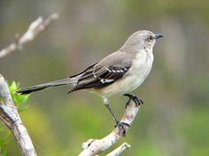 This past weekend I was able to observe or Northern Mockingbird on the east side of Colesburg. This was a life bird for me, which means I ha. All Birds, Love Birds, Pretty Birds, Beautiful Birds, Mocking Birds, State Birds, Backyard Birds, Bird Watching, Bird Art
