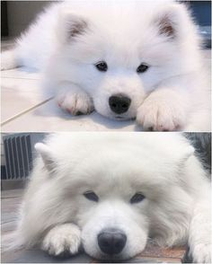 samoyed pup to adult Samoyed Dogs, Pet Dogs, Dog Cat, Doggies, Animals And Pets, Baby Animals, Cute Animals, Cute Puppies, Dogs And Puppies