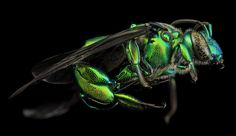 Nature Zen: Orchid Bees are SHINY | The amazing giant orchid bee, Exaerete frontalis, from Guyana.  Sam Droege, USGS  | WIRED.com