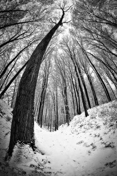 black and white winter forest snow trees