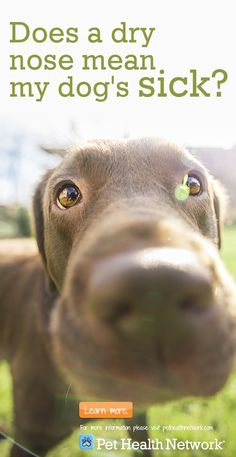 Does a dry nose mean your is sick? Via Knaak Health Network Dog Health Tips, Pet Health, Health Care, Pet Care Tips, Dog Care, Pet Tips, Dry Dog Nose, Pets Online, Dog Safety