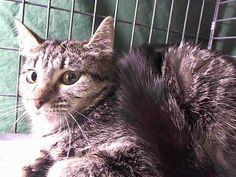 TO BE DESTROYED 4/15/14 Manhattan Center  My name is JONA. My Animal ID # is A0996258. I am a female blk tabby and white dom mh mix. The shelter thinks I am about 1  I came in as a STRAY on 04/10/2014 from NY 10030 OWN EVICT. https://www.facebook.com/nycurgentcats/photos/pb.220724831278845.-2207520000.1397515819./773236939360962/?type=3&src=https%3A%2F%2Fz-1-scontent-a.xx.fbcdn.net%2Fhphotos-prn1%2Ft1.0-9%2F10255659_773236939360962_193762102457884301_n.jpg&size=640%2C480&fbid=773236939360962