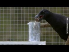 A Crow who solved a complex mystery - Mind Blowing