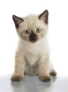 cat siamese kittens - Yahoo Image Search Results