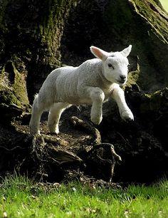 Gamble, the gambolling lamb...