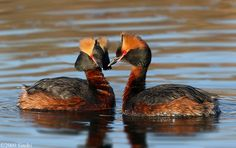 Horned Grebe pair
