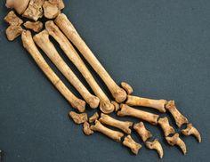 Лапы щенка фото анатомия костей