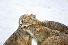 Coyote Hug   Flickr - Photo Sharing!