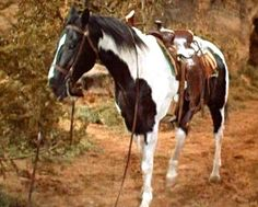 Bonanza: Michael Landon selected a beautiful Paint horse for his new mount, in the show he is called Cochise, named after the famous Indian. He stood 15. 3 hands high and weighed 1,150 pounds.