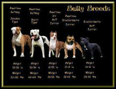 Bully breeds are not just an American pitbull terrier ;)