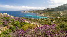 Purple Flowers In The Maquis At La Revellata Near Calvi In The ...