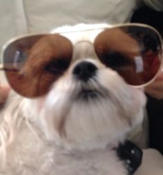 cute dog wearing sunglasses #eyewear