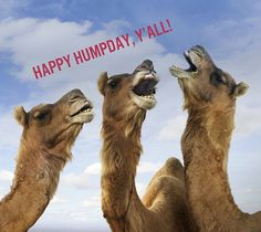 Camels are large ruminating hoofed mammals known for their ability to stay for a long time without water. So here are some Incredible Camel Pictures You Must See. Wednesday Hump Day, Happy Wednesday Quotes, Wednesday Humor, Happy Quotes, Happy Friday, Wednesday Greetings, Wednesday Coffee, Funny Friday, Friday Humor
