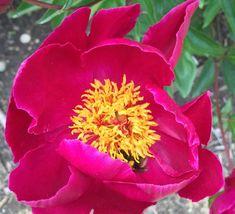 Buy Deep Red Single Peony / Paeonia lactiflora Wilbur Wright plants - Kelways