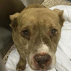 Martinsburg, West Virginia - Pit Bull Terrier. Meet Myca, a for adoption. https://www.adoptapet.com/pet/20448170-martinsburg-west-virginia-pit-bull-terrier