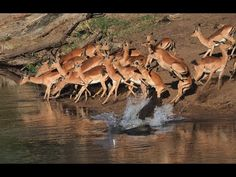Crocodile hunts Impala 3rd time Lucky! Not easy to see these reptiles ca...