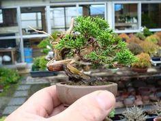 Source by twiliter . Bonsai Art, Bonsai Plants, Bonsai Garden, Mame Bonsai, Juniper Bonsai, Bonsai Styles, Moss Garden, Miniature Plants, Tree Designs