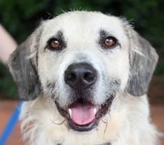 Hi my name is COMET! I am a very sweet and handsome boy. I am about 2 years old & I weigh around 65 pounds. I need another dog in my forever home.The adoption fee is $200. All of our dogs are spayed/neutered, microchipped, vaccinated, heartworm...