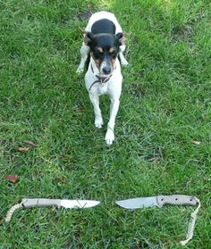 The Rat Terrier is really a multipurpose companion dog that is capable of hunting rodents and vermin above and under ground as well as coursing little game. Rat Terrier Dogs, Boston Terrier, Little Games, Companion Dog, Rodents, Rats, Pup, Hunting, Mini
