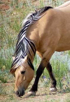 """jords show what are known as """"primitive"""" horse markings, which include the dorsal eel stripe (the dark line down their backs) and zebra bar markings, which are the occasional stripes on their legs. White marks are unusual."""