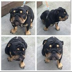 French Bullweiler (French bulldog/ Rottweiler mix) Must ...